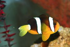 Free Tropical Fish Stock Image - 1576141