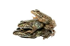 Three Frog Brothers Stock Images