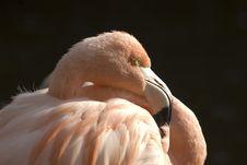 Free Flamingo Head Royalty Free Stock Photo - 1576825