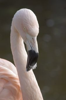 Flamingo Neck And Head Royalty Free Stock Images