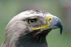 Free Hawk Stock Photo - 1576850