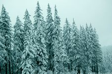 Free Frosted Trees Royalty Free Stock Photography - 1576917