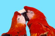 Free Parrot In Love Stock Image - 1577141