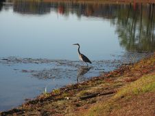 Free Heron Royalty Free Stock Photos - 1577238