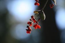 Free Red Berries Royalty Free Stock Photography - 1577427
