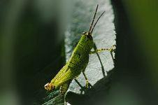 Free Grass Hopper Stock Image - 1577481