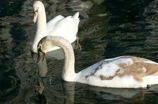 Free Swans Stock Photos - 1578363