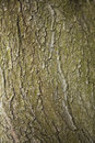 Free Tree Texture Stock Image - 15701071