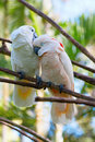 Free Pair Of Cockatoo Stock Photography - 15704442