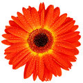 Free Red Gerbera With Drops Of Water Stock Photos - 15708023