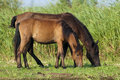 Free Horses Grazing Royalty Free Stock Photos - 15709798