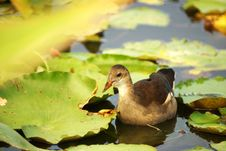 Free Common Moorhen Royalty Free Stock Photos - 15700948
