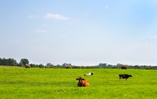 Rural Landscape With Cows Stock Photography