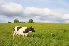Free Cow On Meadow Stock Photos - 15701663