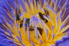 Lotus & Bees Stock Image