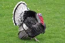 Free Strutting Turkey Stock Photography - 15701982