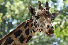 Free Giraffe Close-up Stock Photography - 15702022