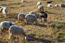 Free Herd Of Sheep Royalty Free Stock Images - 15702039