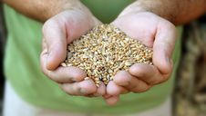 Free Wheat In Hands Royalty Free Stock Images - 15702479