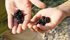 Free Blackberries Stock Photography - 15702492