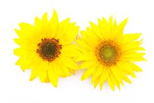 Free Sunflowers Royalty Free Stock Image - 15703046