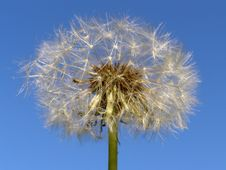 Free Dandelion Royalty Free Stock Photos - 15703318