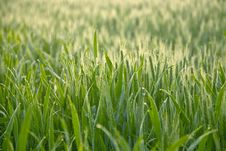 Free Sunny Grass Royalty Free Stock Image - 15703466