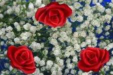 Free Three Roses Stock Image - 15703971