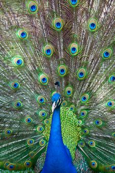 Free Peacock Royalty Free Stock Image - 15704426