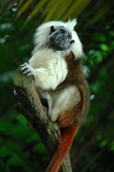Free Black Face Monkey Stock Image - 15705911
