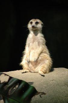 Free Meerkat Stock Images - 15705934