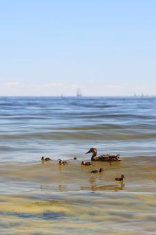 Free Wildlife Duck - Seaweed Stock Images - 15706994