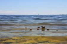 Free Wildlife Duck - Seaweed Stock Photo - 15707010
