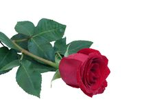 Free Red Rose Royalty Free Stock Photography - 15707447