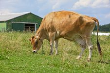 Free Cow In Pasture Stock Images - 15707534