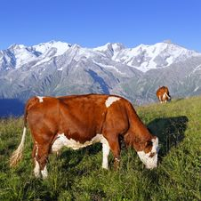 Free Mountain Cow Stock Photo - 15707870