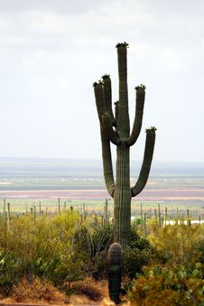 Saguaro National Park, USA Royalty Free Stock Photo