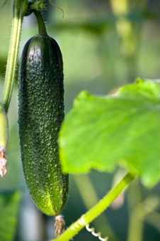 Free Fresh Green Cucumber Royalty Free Stock Image - 15708686