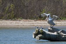 Free Dalmatian Pelican Royalty Free Stock Photography - 15709507