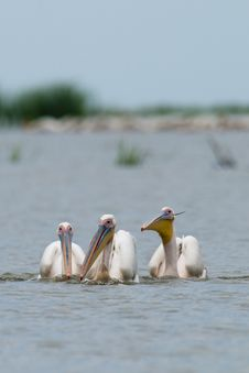 Free Three White Pelicans Royalty Free Stock Image - 15709566