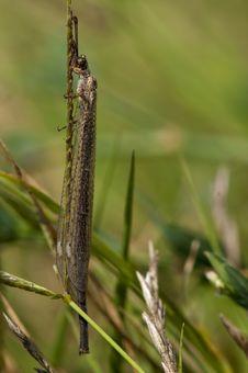 Free Antlion On A Grass Stock Photos - 15709723