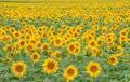 Free Field Of Sunflowers Stock Image - 15716491