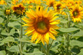 Free Field Of Sunflowers Stock Photo - 15716500