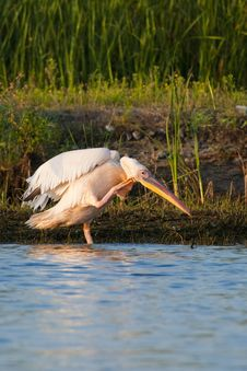 Free White Pelican Scratching Stock Photo - 15710530