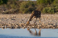 Giraffe Drinking Stock Photography