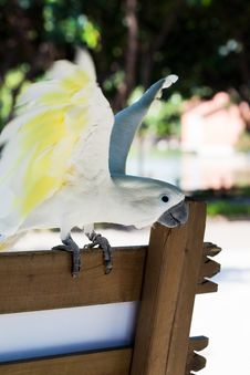Free Beautiful White Parrot Royalty Free Stock Image - 15712016