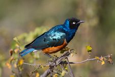 Free Superb Starling - Lamprotornis Royalty Free Stock Photos - 15712358