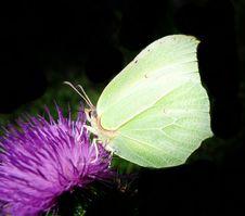 Brimstone Butterfly (Gonepteryx Rhamiri) On Black Stock Photography