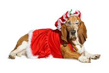 Basset Hound Dog Wearing A Mrs Santa Claus Outfit Royalty Free Stock Image