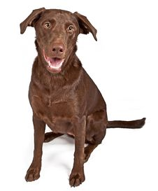 Free Chocolate Labrador Retriever Dog Stock Photo - 15712880